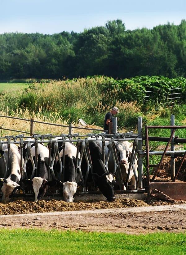 Feeding Dairy Cows